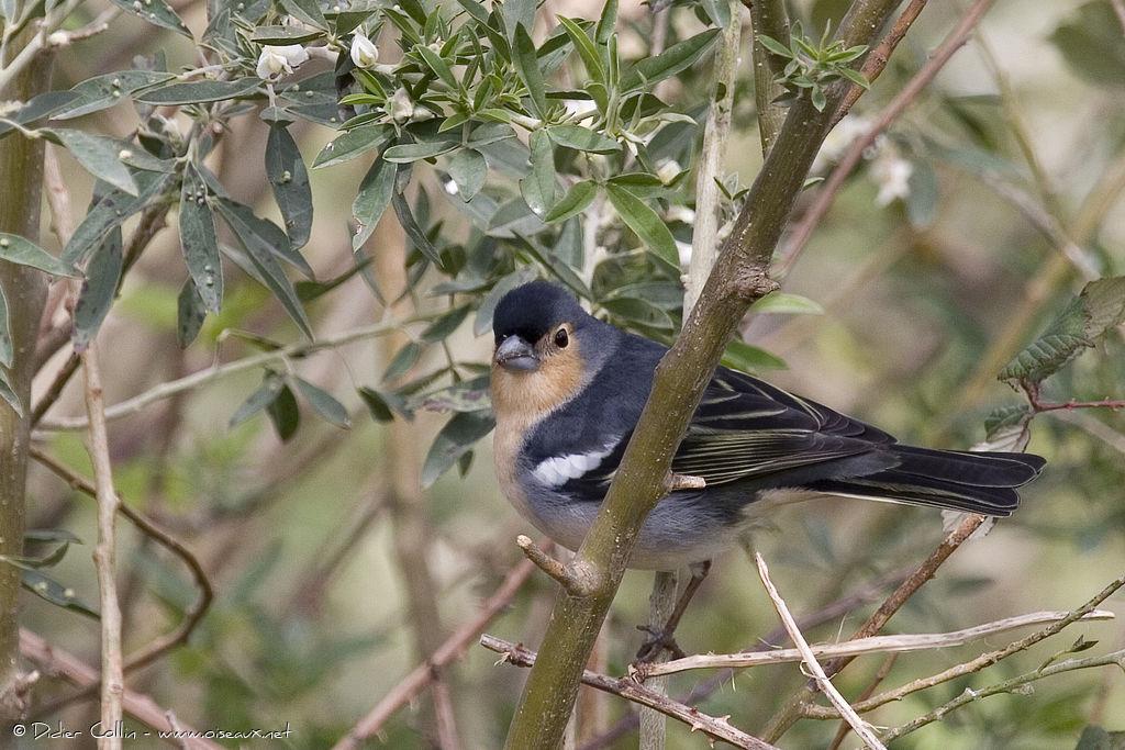 Pinson des arbres m le adulte ref dico48475 - Eloigner les oiseaux des arbres fruitiers ...