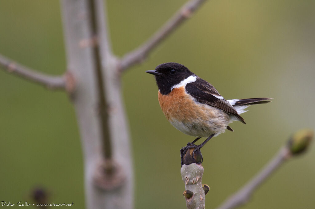 european stonechat saxicola rubicola male adult ref. Black Bedroom Furniture Sets. Home Design Ideas