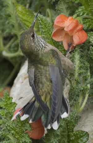 Colibri à plastron noir