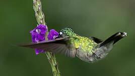Colibri à tête violette