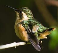 Colibri bourdon