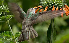 Colibri de Taczanowski