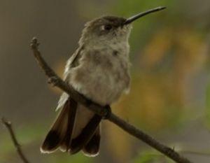 Colibri de Tumbes