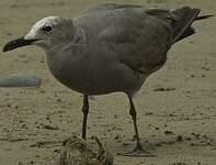 Goéland gris