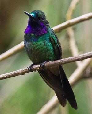 Héliange violette