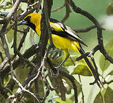 Oriole à queue jaune