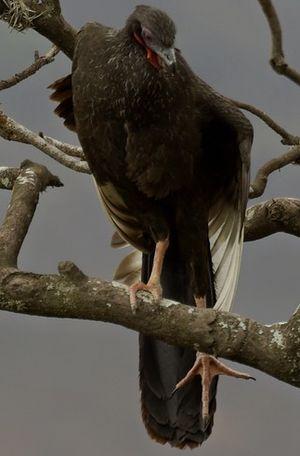 Pénélope à ailes blanches