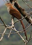 Piaye écureuil
