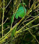 Quetzal antisien
