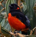 Tangara à ventre rouge