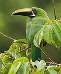 Toucanet à gorge noire