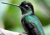 Colibri de Rivoli