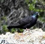 Pigeon des lauriers