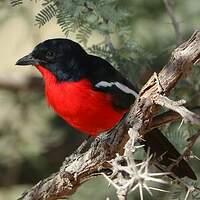Gonolek rouge et noir