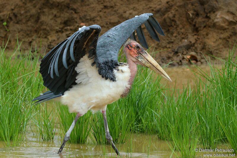 Marabou Stork Leptoptilos Crumenifer Adult Dpet303510