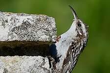 Grimpereau des jardins