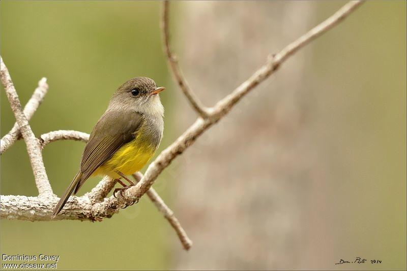 Miro ventre jaune ref doca170050 for Oiseau ventre jaune