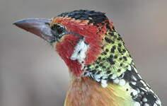 Barbican à tête rouge