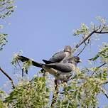 Touraco gris