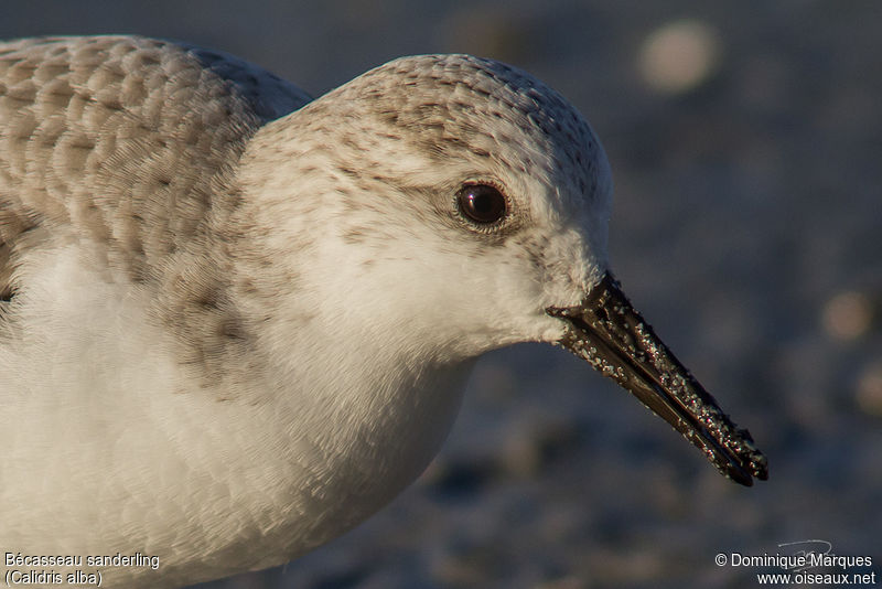Bécasseau sanderling adulte, portrait