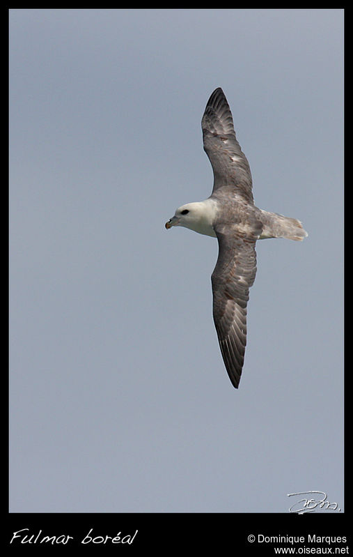 Fulmar boréal adulte, identification, Vol