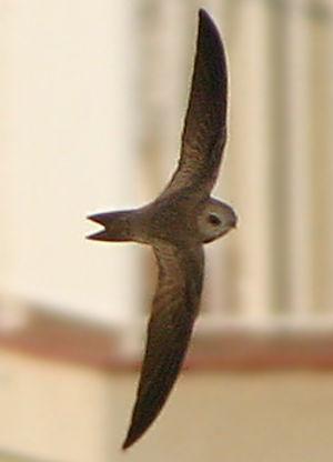 Martinet pâle