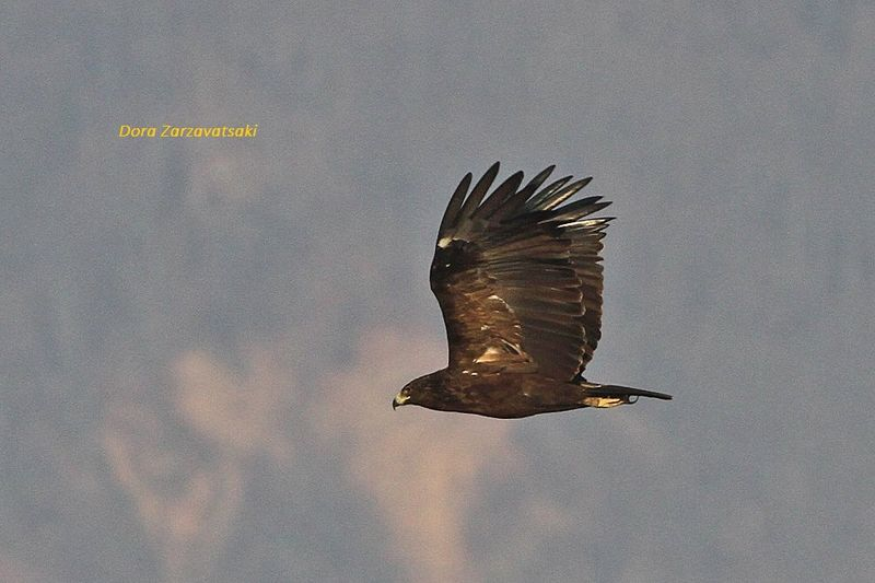 Greater Spotted Eagle , Flight
