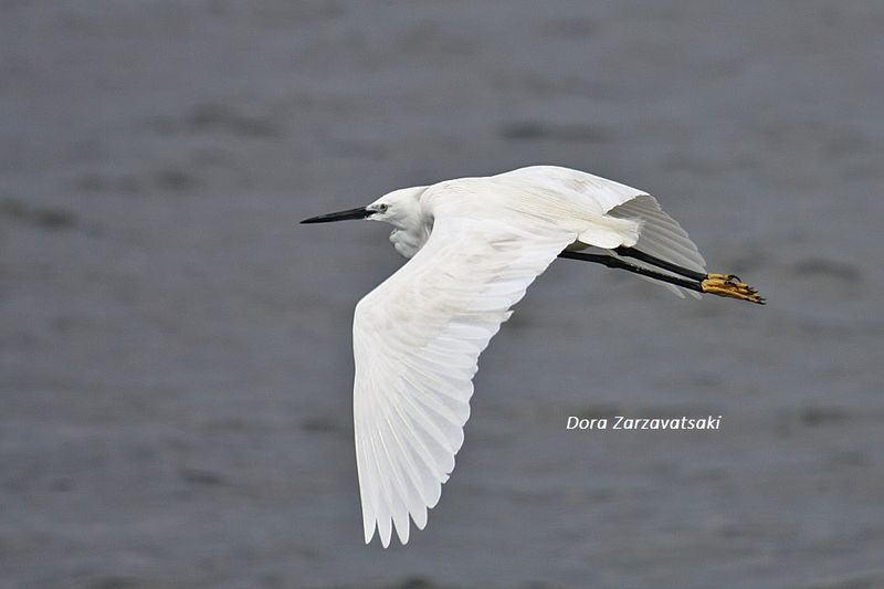Little Egret adult breeding, Flight