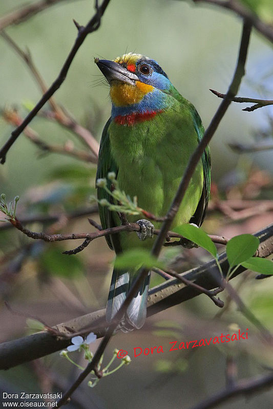 Taiwan Barbet adult, identification, eats
