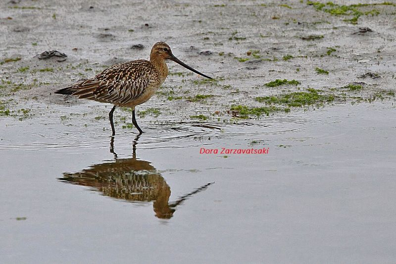 Bar-tailed Godwit adult breeding