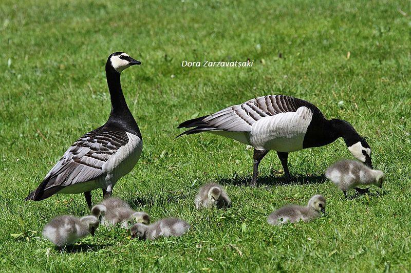 goose identification