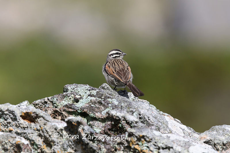 Cape Bunting adult