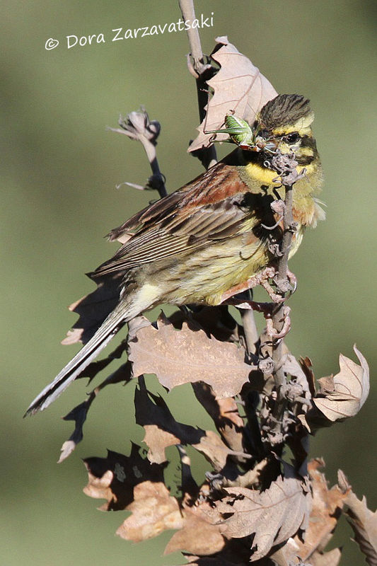 Cirl Bunting male adult, eats