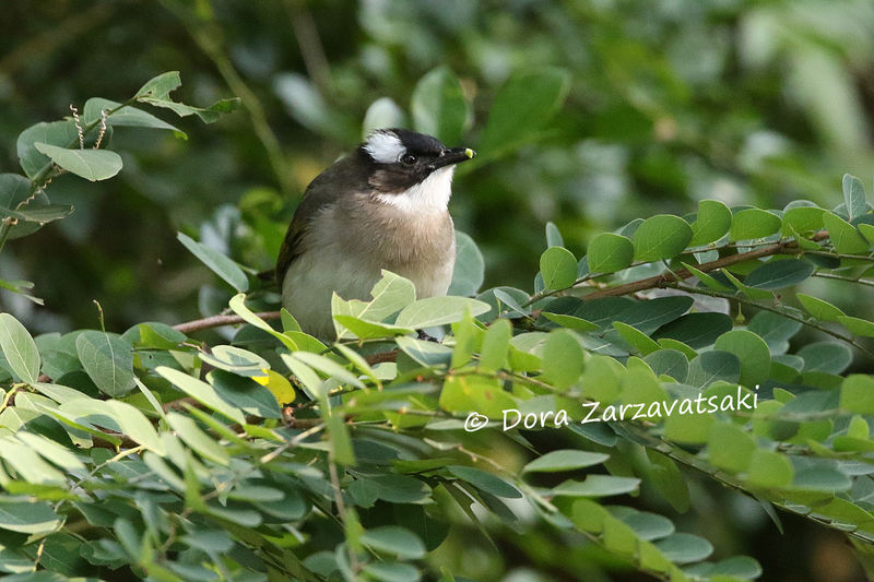 Bulbul de Chine adulte, identification, mange
