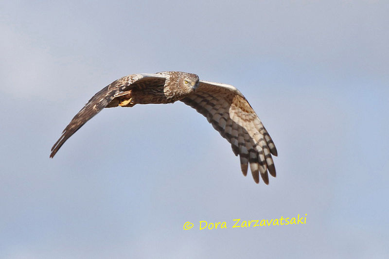 African Marsh Harrier adult, Flight