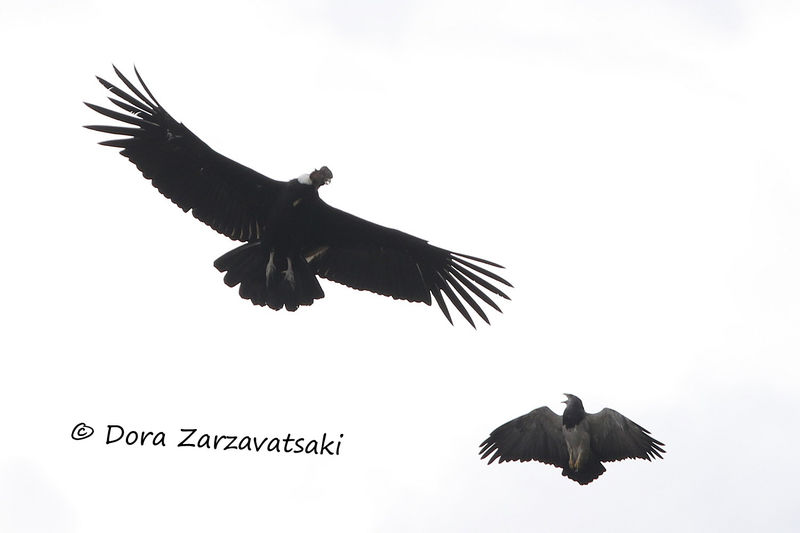 Andean Condor adult, identification, Flight
