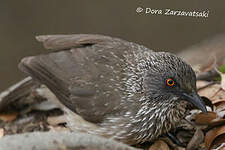 Arrow-marked Babbler