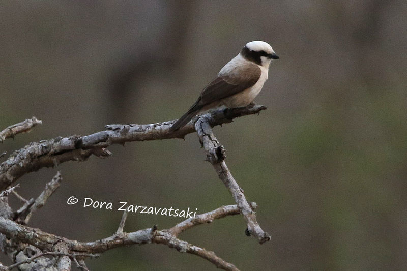 Southern White-crowned Shrike adult