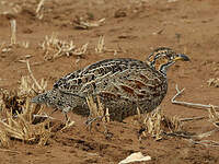 Francolin de Shelley