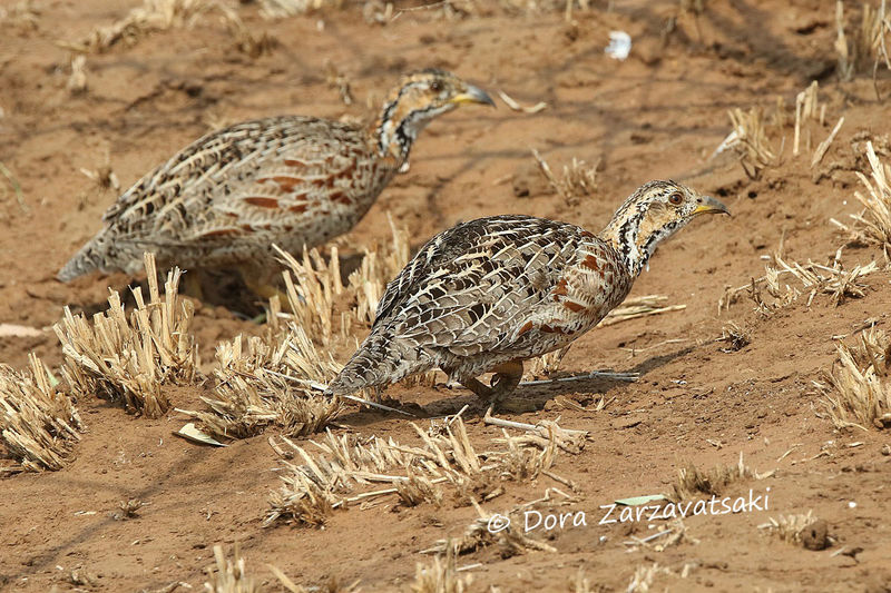 Francolin de Shelley adulte, marche