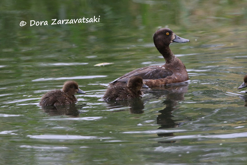 Tufted Duck , Reproduction-nesting, Behaviour