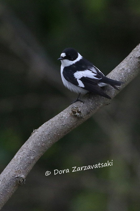 Collared Flycatcher female adult