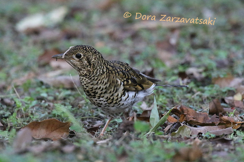 White's Thrush adult, camouflage, walking