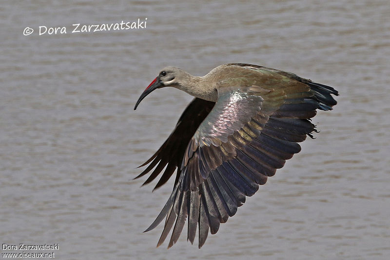 Hadada Ibis adult, Flight