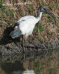 African Sacred Ibis