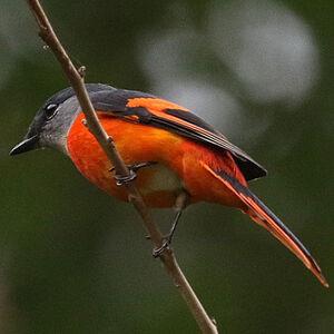 Minivet mandarin