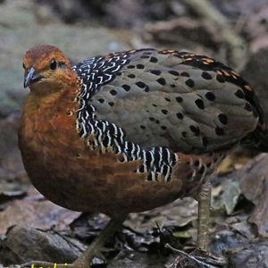 Rouloul ocellé
