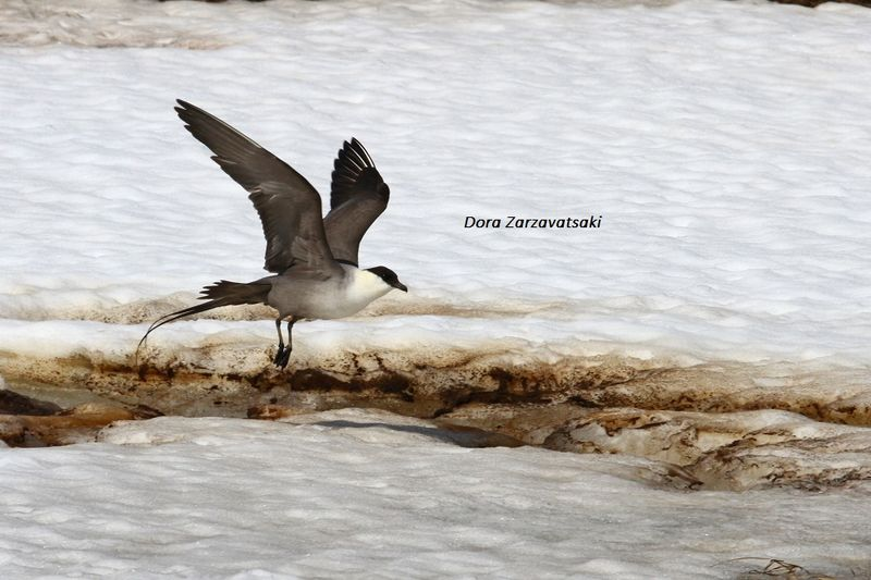 Long-tailed Jaeger adult