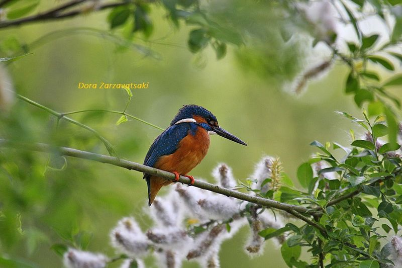 Common Kingfisher male adult