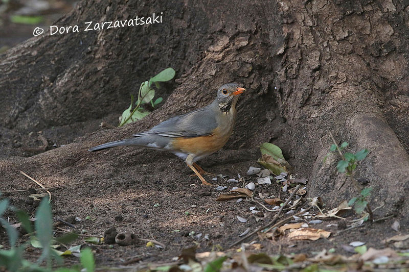Kurrichane Thrush adult